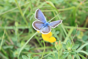 blue-violet butterfly on yellow flower